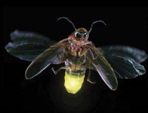 Firefly[1]